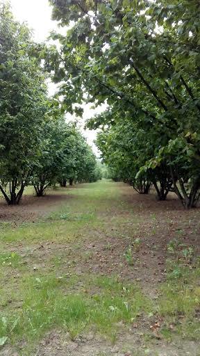 Vivalda - Nocciole Piemonte - piante